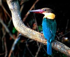 Cigüeña de pico Kingfisher