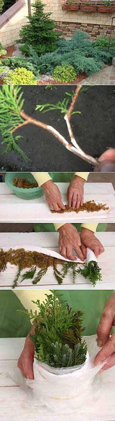 Как размножать хвойные растения черенками   Дача - впрок