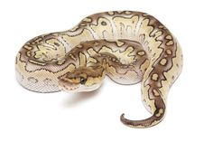 Lesser Clown Ball Python - one of my favorite morphs. Would love to get one of these as a boyfriend for my female normal.