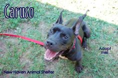 Caruso is an 8 month old cutie at the New Haven Animal Shelter. He's got wonderful pointy ears and is a sweet guy!