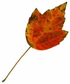 ba1969 | ... quality stock images | Leaf 23 | ba1969 | December - 04 - 2011 (4