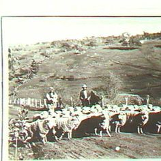 Mr Paddick taking sheep to Blackwood. Adelaide South Australia, Those Were The Days, Historical Photos, Sheep, Photograph, Sun, Times, History, Pictures