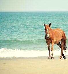 Carova Beach, Corrolla NC, beach, sea, ocean, coast, coastal, Wild horse, Wild Spanish Mustang, horse