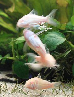 Keeping Corydoras catfish in your aquarium Aquarium Set, Tropical Fish Aquarium, Aquarium Fish Tank, Planted Aquarium, Fish Aquariums, Aquarium Ideas, Fish Tanks, Freshwater Plants, Tropical Freshwater Fish