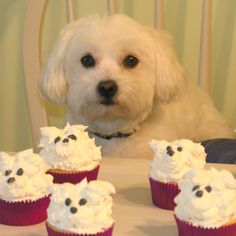 How to frost a Bichon cupcake Tutorial ~ full instructions.