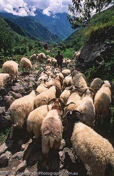 Kali Gandaki goats, Nepal Grant Dixon Photography Love the goats! They're delicious, too!