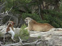 of Photo taken by a friend Randy Grange. See photo 1 for the story.(L Jean) Big Animals, Animals And Pets, Mountain Lion Hunting, Treeing Walker Coonhound, Pumas, Hound Dog, Hunting Dogs, Working Dogs, Big Game