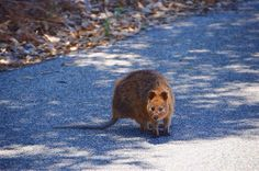 Rottnest Island is one of only a couple of places where the furry and cute quokka lives.