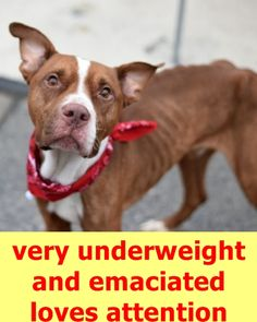 Brooklyn Center LUDEMANN – A1092692 MALE, CHOCOLATE / WHITE, AM PIT BULL TER MIX, 4 yrs STRAY – STRAY WAIT, NO HOLD Reason STRAY Intake condition EXAM REQ Intake Date 10/07/2016 http://nycdogs.urgentpodr.org/ludemann-a1092692/