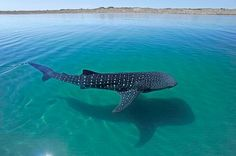"""778.9k Likes, 3,337 Comments - National Geographic (@natgeo) on Instagram: """"Photograph by @thomaspeschak A whale shark travels through the seas off La Paz #Mexico. Whale shark…"""""""