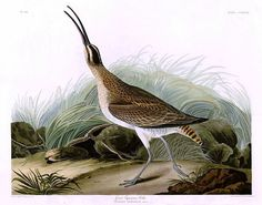 """Great Eskimo Curlew by John James Audubon, appears in the book """"Okay for Now"""" by Gary D. Schmidt."""