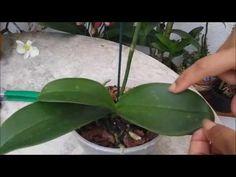 Como e quando tirar folha amarela da Orquídea - YouTube