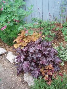 """heuchera Dolce Blackcurrent coral bells 16"""" H---20"""" W"""