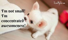 Effective Potty Training Chihuahua Consistency Is Key Ideas. Brilliant Potty Training Chihuahua Consistency Is Key Ideas. Cute Chihuahua, Chihuahua Puppies, Cute Puppies, Cute Dogs, Dogs And Puppies, Doggies, Dogs 101, Teacup Puppies, Teacup Chihuahua