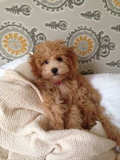 Mini Goldendoodle love.  Looks like a little teddy bear!  So sweet!