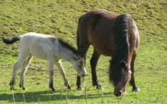 Once nearly extinct, the Gotland Russ pony (Gotlandruss) is one of the purest horse breeds in the world. Very gentle and extremely intelligent, they are native to the island of Gotland in Sweden.