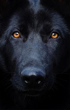 black German Shepherd Wolf Hybrid Dogs, Animals Beautiful, Beautiful Dogs, Black Shepherd, Black German Shepard, German Shepherds, German Shepherd Puppies, Doge, Dogs And Puppies