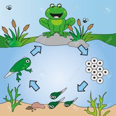 Photo about Illustration of life cycle of frog. Illustration of nature, green, animals - 38776331 Educational Activities For Kids, Science For Kids, Science Activities, Science Projects, Science And Nature, Kids Learning, Sequencing Activities, Lifecycle Of A Frog, Frog Life