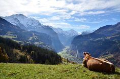 Cow enjoying the view of The Lauterbrunnen Valley and moutains