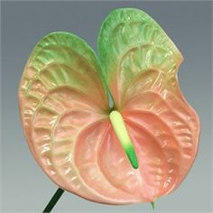 Anthurium Senator are a salmon & green variety with a cream & green stamen. 12 stems per box = medium to large flower heads.