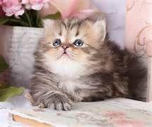 ... Persian Kittens For Sale 4fb22e599e80dd3b6a90 Cute White Kittens For