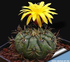 cactus matucana   Matucana aureiflora is a g reat plant , with unusually golden flowers ...