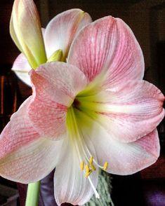 Foto di Цветы из холодного фарфора и полимерной глины Amaryllis Bulbs, Amarillis, Christmas Gifts, Flowers, Plants, Apple, Leaves, Irises, Exotic Flowers