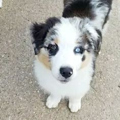 Blue merle blue eyes BLU HORIZON AUSSIES