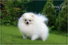 A one white fluffy snowball Pomeranian!