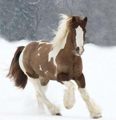 Estos caballos, gracias a sus rasgos de docilidad y fuerza, han sido usados a través de la historia como caballos para tirar de carros o también para la monta. Foto: vfdfoto.wordpress.com