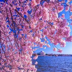 【blissfulmoments_】さんのInstagramをピンしています。 《#DC #cherryblossoms #water #cool #capital #blue #washingtondc #nice #wow #gorgeous #pretty #capital #nationscapital #awesome #blossoms #bliss #like #love #travel #gohere #placestogo #nice #cherry #nature》