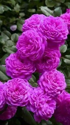 BUY 3 GET 2 FREE Austria Juliet Rose Seeds 50 Pcs Patio Potted  Flowers