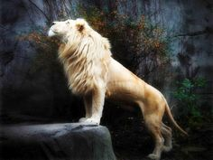 real white lion photos | Your Favorite Tiger and Lion Artworks in Lion vs Tiger Discussion ...