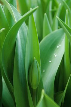 Een tulp in 't groen