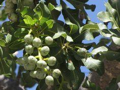 Ozoroa Dispar            Namaqua Resin Tree         Namaqua Harpuisboom            5 m          S A no 370