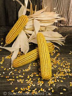Reid's Yellow Dent Corn.  One of the best producing and best tasting heirloom dents corns! (scheduled via http://www.tailwindapp.com?utm_source=pinterest&utm_medium=twpin&utm_content=post14066604&utm_campaign=scheduler_attribution)