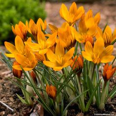 Wild Crocus Bulbs Orange Monarch, Crocus chrysanthus, Wild Crocus, Snow Crocus or Specie Crocus, – Crocus Bulbs from American Meadows Exotic Flowers, Beautiful Flowers, Yellow Flowers, Beautiful Gardens, Saffron Crocus, Crocus Bulbs, High Country Gardens, American Meadows, Crocosmia