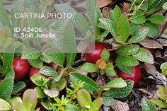 Riekonmarja - Arctous alpina (42406). arctostaphylos alpina, arctous alpina…