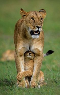 'A safe place'  Lions by Margot Raggett