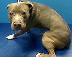 GONE RIP - 04/07/13 Brooklyn Center  My name is DIAMOND. My Animal ID # is A0960365. I am a male gray and white pit bull mix. The shelter thinks I am about 2 YEARS old. POOR DIAMOND HASN'T HAD A BREAK SINCE HE WAS BORN.  PLEASE CONSIDER SHOWING HIM THE LOVE HE DESERVE BEFORE ITS TOO LATE ADOPT OR FOSTER BY MORNING https://www.facebook.com/photo.php?fbid=593564400656443=a.275017085844511.78596.152876678058553=1