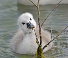 baby swan...killing me with cuteness,,,,