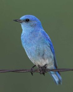 Mountain Bluebird, another favorite from dude ranch summers. A pair of these nested down by the main gates and could always be seen on the fence there. In the afternoon sun? With the 2-tone jeweled blues? Unreal!