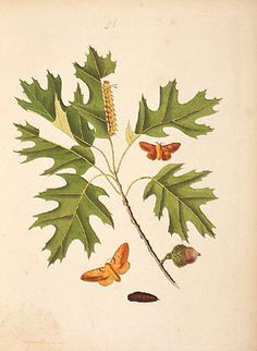 Illustration from Abbots Lepidoptera John Abbot's work on Georgia insects, edited by J. E. Smith, is a contribution to botany as well as entomology. Included with his drawing of the orange white-spot moth is a branch of Quercus velutina, commonly known as black oak.  http://www.ansp.org/explore/online-exhibits/philadelphia-trees/