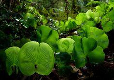 Kidney Ferns, Trichomanes reniforme by New Zealand Wild, via Flickr