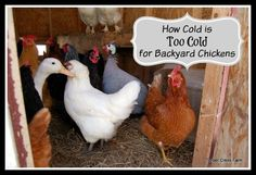 Have you wondered how to know if it is too cold for backyard chickens? Since people do raise chickens in all kinds of cold temps, look for these signs
