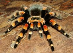 Brachypelma Annitha - Mexican Giant Red knee