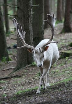 Wow, stunning white deer :)