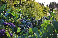 Black kale and heliotrope. Beautiful!