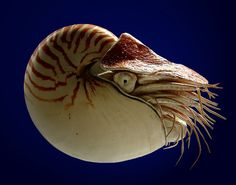 The nautilus is considered to be a living fossil. It's remained largely unchanged for the past 500 million years, since the Triassic period. The nautilus usually inhabits ocean depths of about 300m, rising to around 100m at night only for feeding, mating or laying eggs. The average lifespan of a nautilus is around 20 years.
