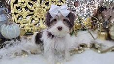 Teacup Yorkies for Sale | Tea Cup | Breeder | Puppies |Micro | Tiny Micro Yorkies, Micro Teacup Yorkie, Teacup Yorkie For Sale, Cute Teacup Puppies, Yorkies For Sale, Yorkie Puppy For Sale, Paper Train, Button Nose, Bear Face